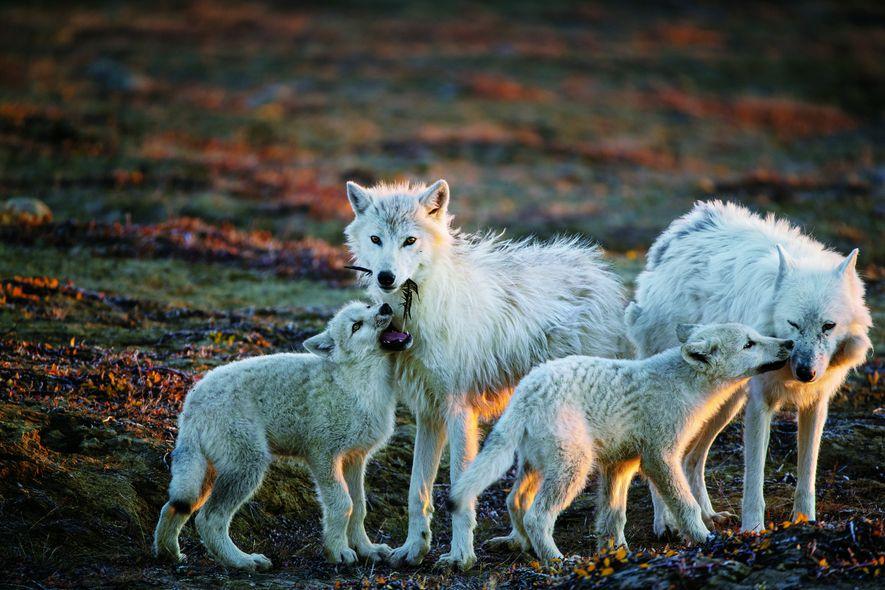 Galerie: Allein unter Wölfen
