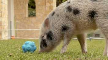 Experiment: Wie kommunizieren Schweine mit Menschen?