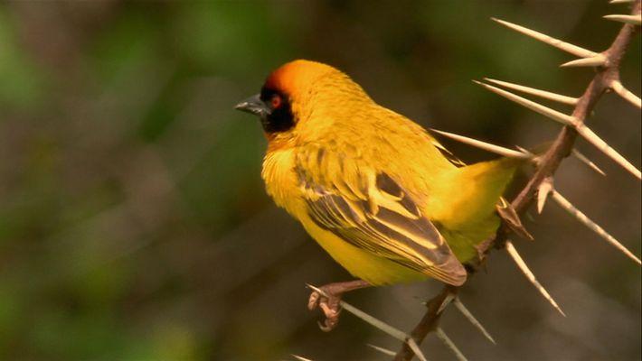 Wie der Webervogel sein Nest vor Einbrechern schützt