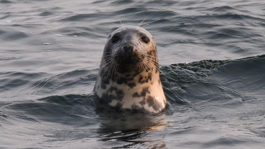 Kegelrobben in der Ostsee: Deutschlands größtes Raubtier ist zurück