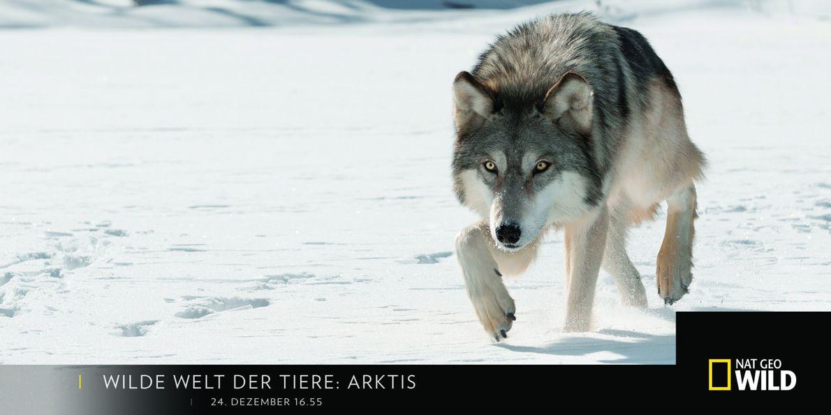 Wilde Welt der Tiere: Arktis