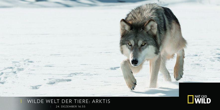 """24. Dezember """"Wilde Welt der Tiere: Arktis"""""""