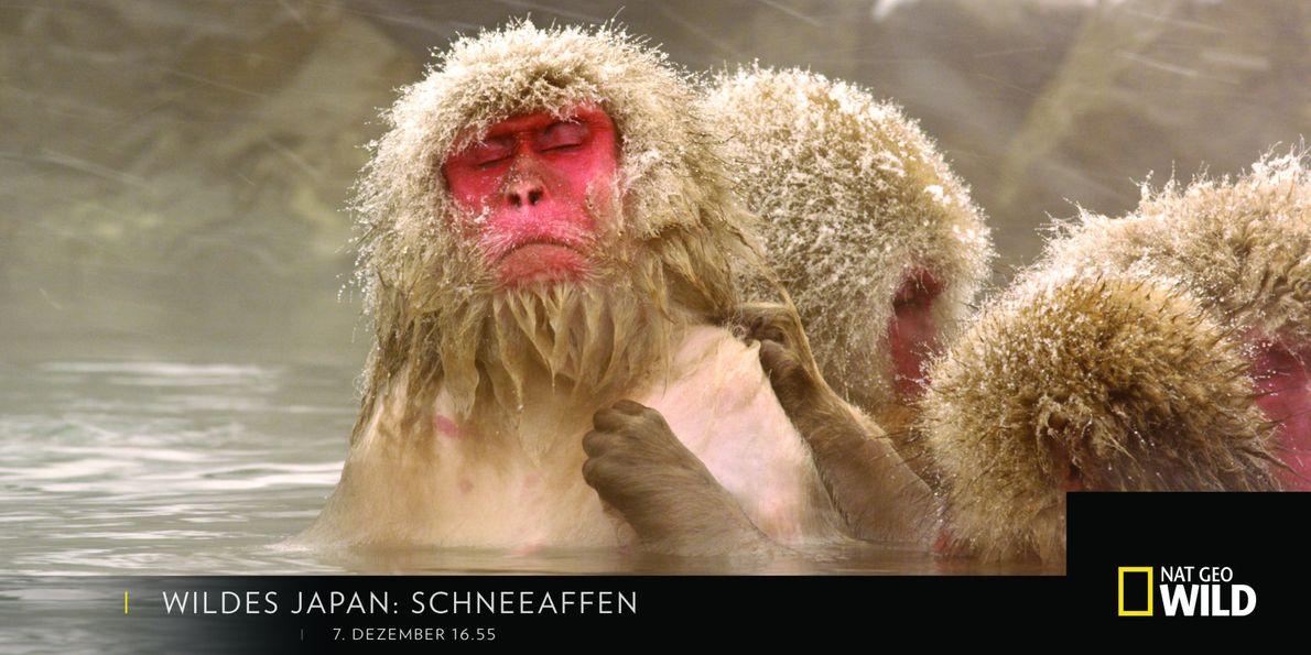 Wildes Japan: Schneeaffen
