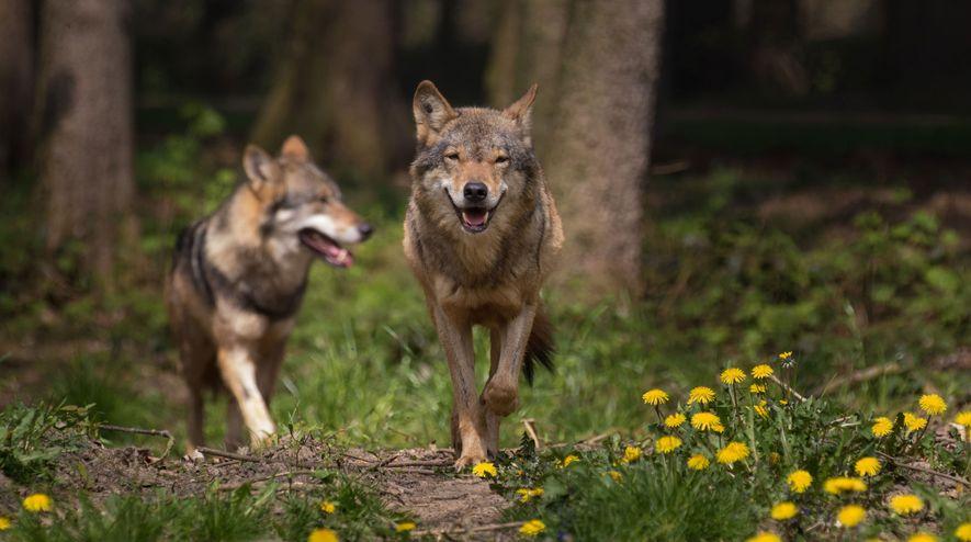 Die Wölfe sind zurück
