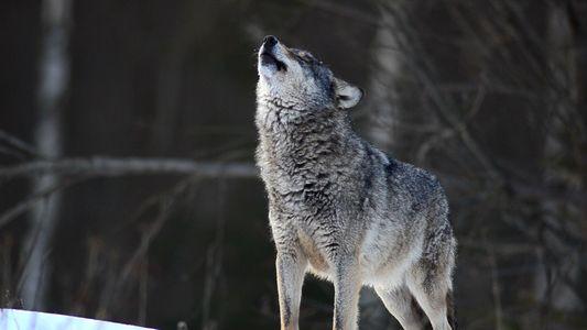 Wissen kompakt: Wölfe