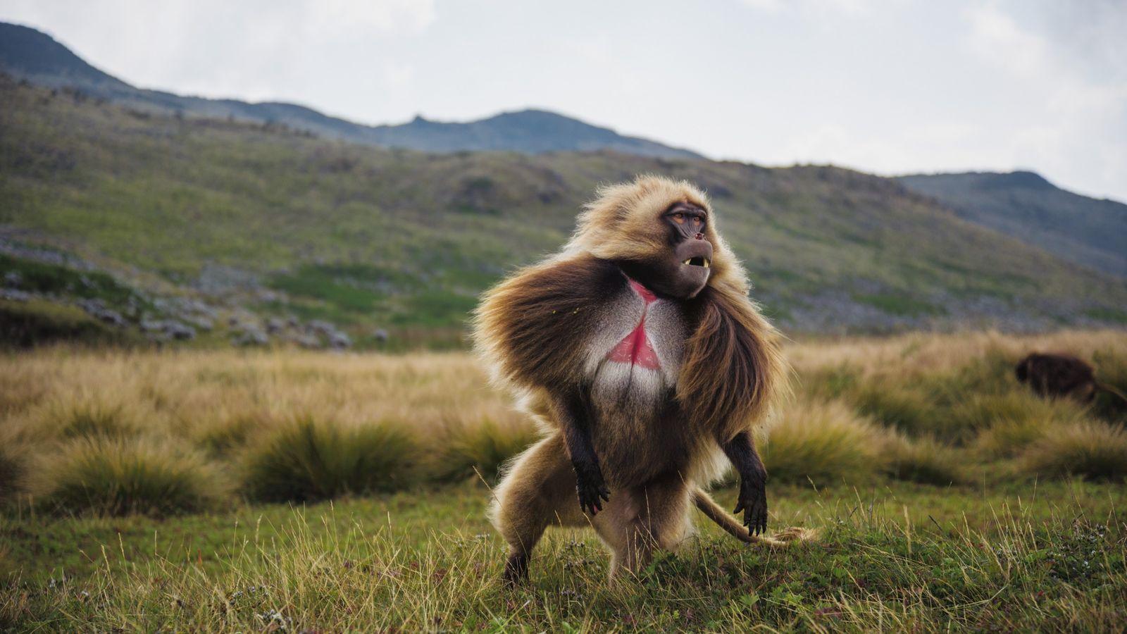Ein zotteliger Dschelada blickt über das Guassa-Plateau im Hochland von Äthiopien. Hier haben Hunderte Exemplare der ...