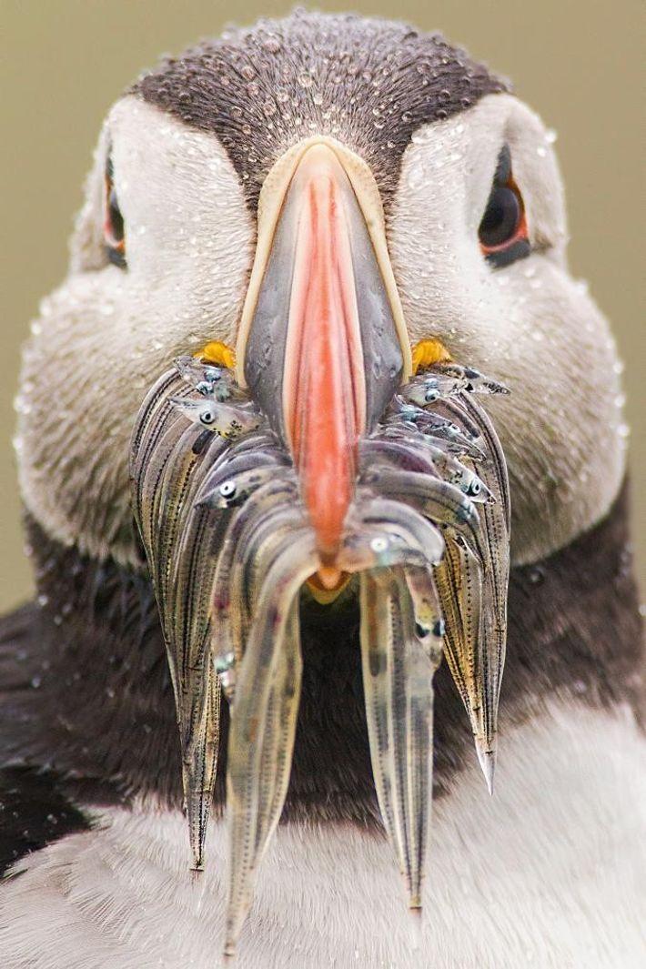 Papageitaucher können sehr viele kleine Fische in ihrem geräumigen Schnabel halten.