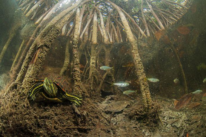 Eine Zierschildkröte findet zwischen den überfluteten Wurzeln des Mangrovenwaldes Unterschlupf.