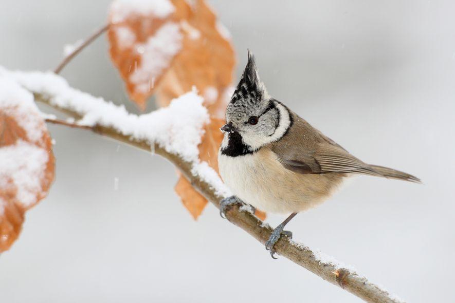 Ihre schwarz-weiß gesprenkelte Federhaube macht die Haubenmeise unverwechselbar. Im Winter begegnet man ihr am Futterspender, sofern ...