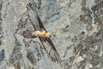 Ein Bartgeier vor einer Felswand: Mit einer Flügelspannweite von fast drei Metern zählt der Bartgeier zu ...