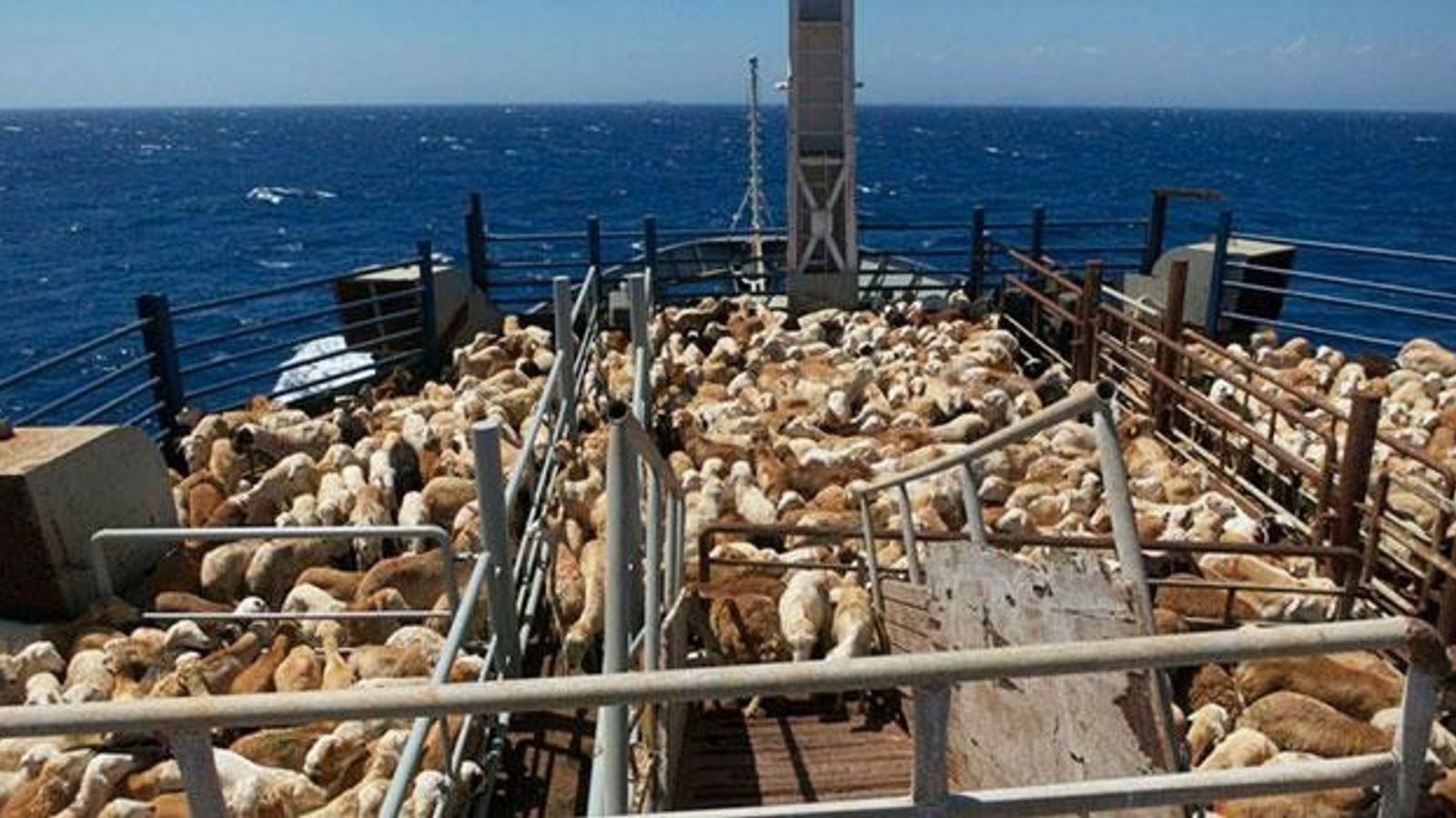 """Die """"MV Abuyasser II"""" bringt afrikanische Schafe zu arabischen Schlachtereien."""
