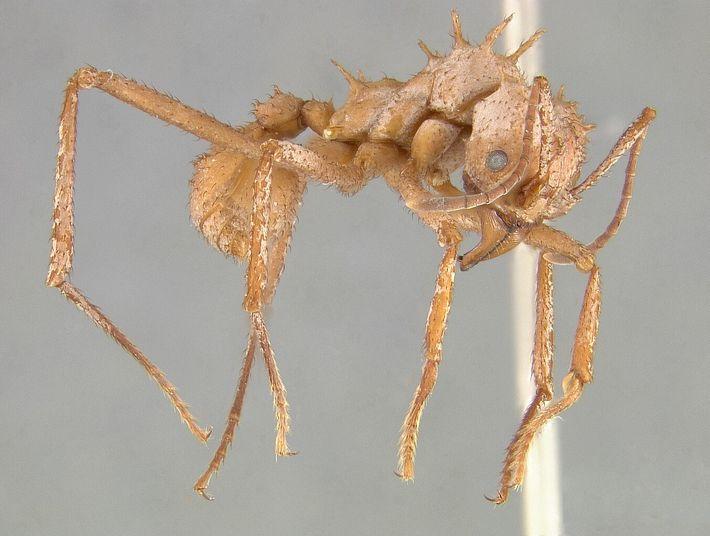 Die Panzerung von Acromyrmex echinatior hilft den Ameisen dabei, Konflikte mit anderen Ameisenarten zu überleben.