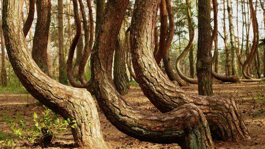Rätsel um den krummen Wald in Polen