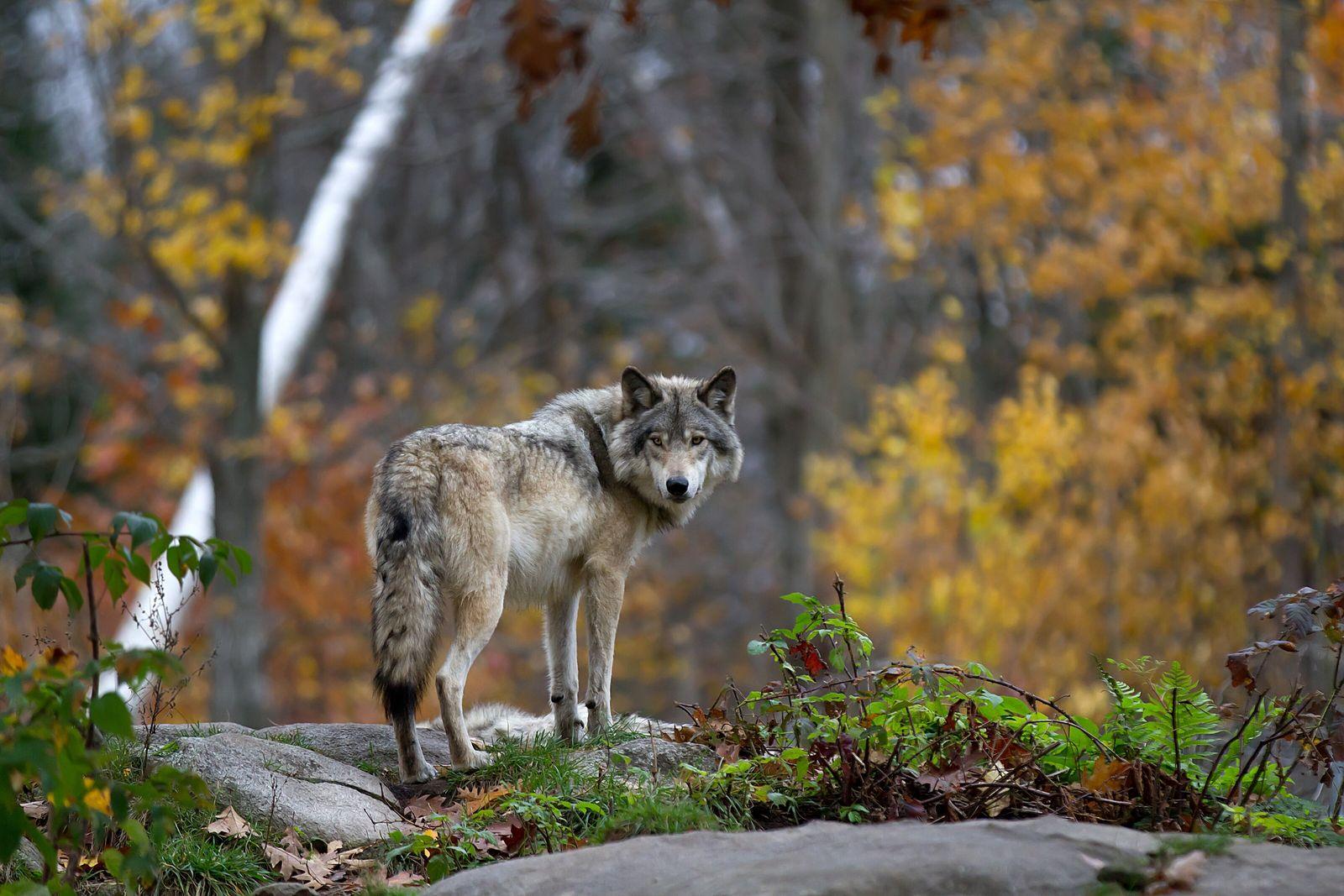 Edles Naturschutzsymbol oder mordendes Monster: Nach 150 Jahren erobert der Wolf seinen früheren Lebensraum in Mitteleuropa ...