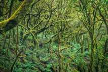 Märchenhafter Lorbeerwald auf Teneriffa