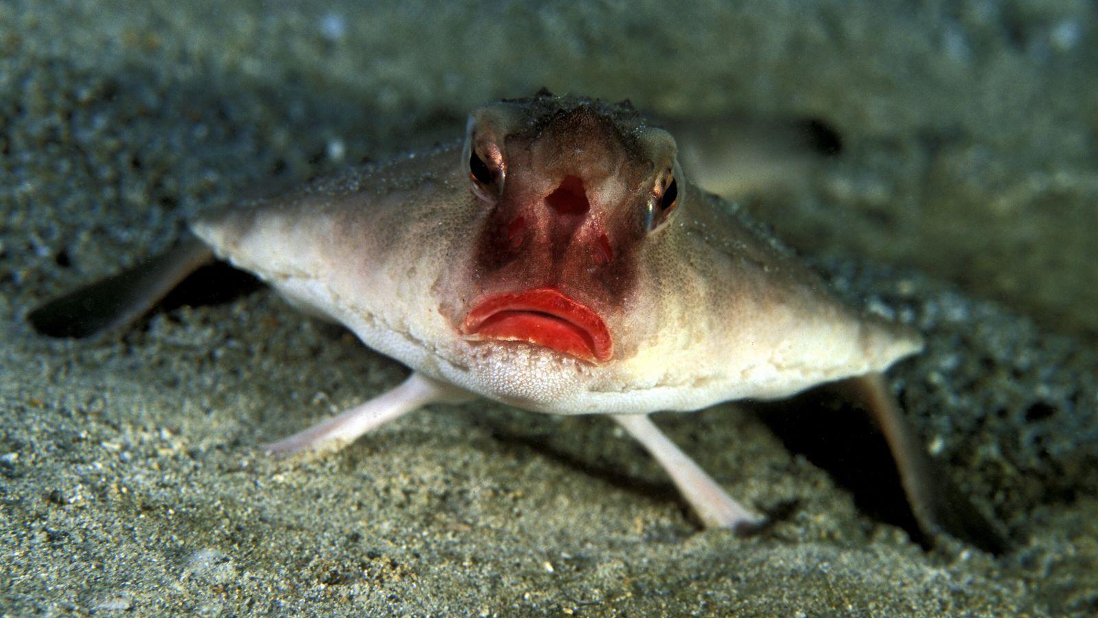 Schaurig schöne Tierwelt - Fledermausfisch
