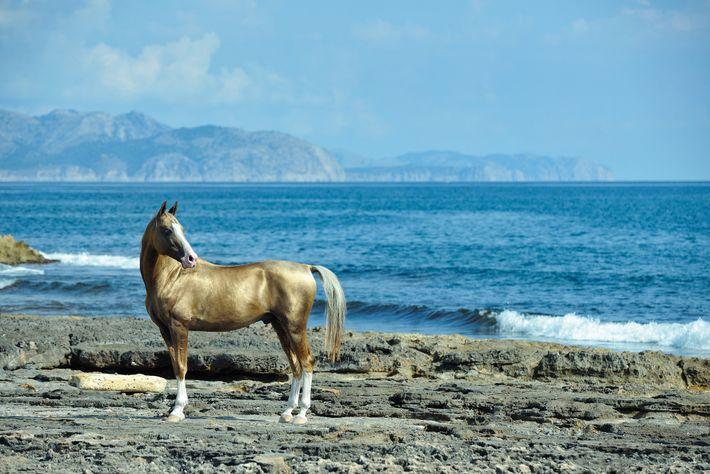 Achal Tekkiner Goldenes Pferd Wasser
