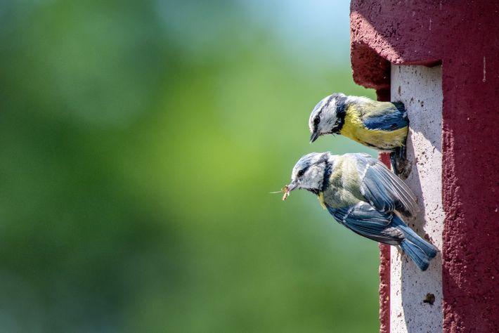 Ein Blaumeisenpaar am Nistkasten