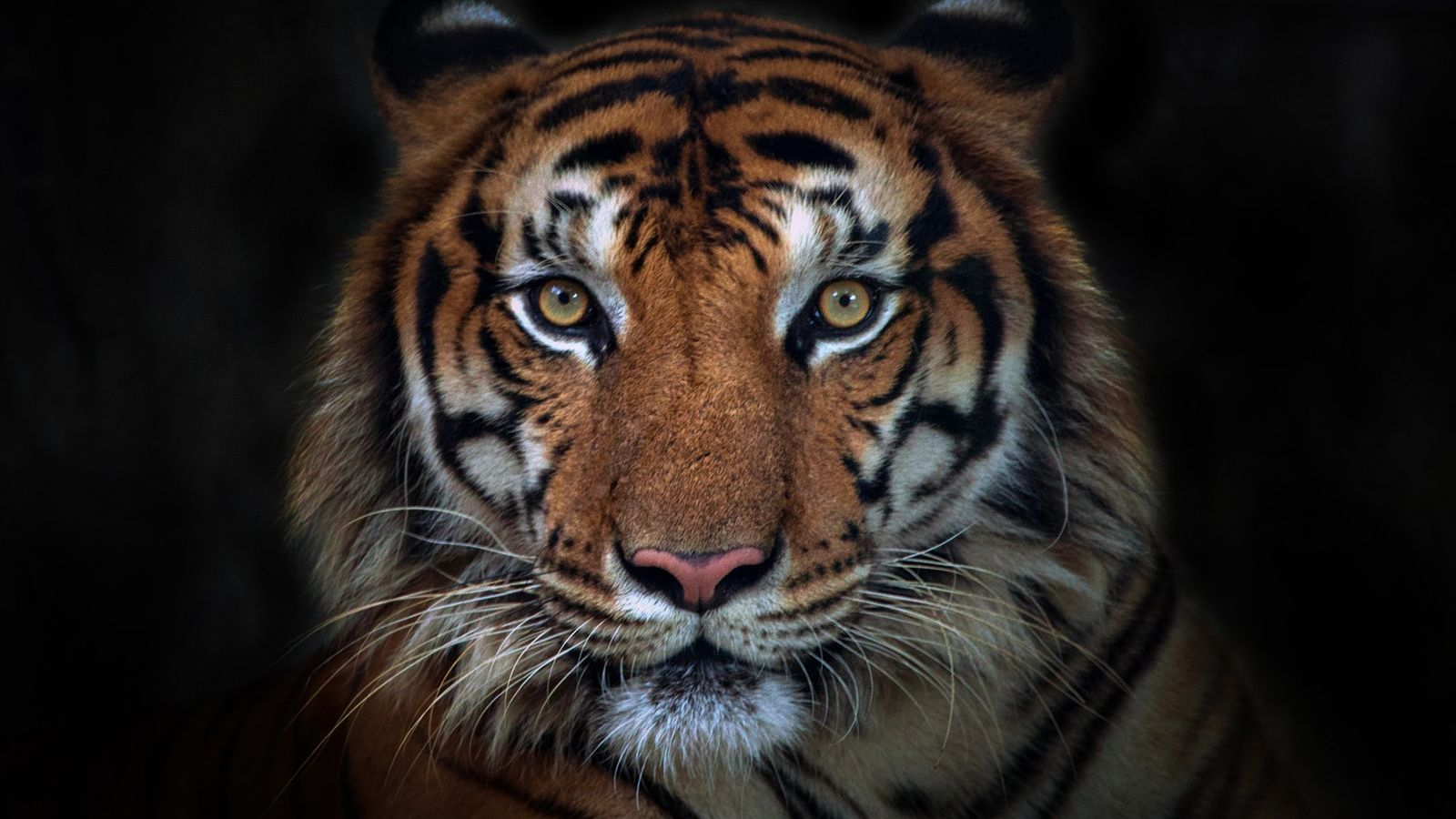Angesteckt: Das Tiger-Weibchen Nadia wurde im April im Bronx Zoo positiv getestet. Sie gilt als erstes ...