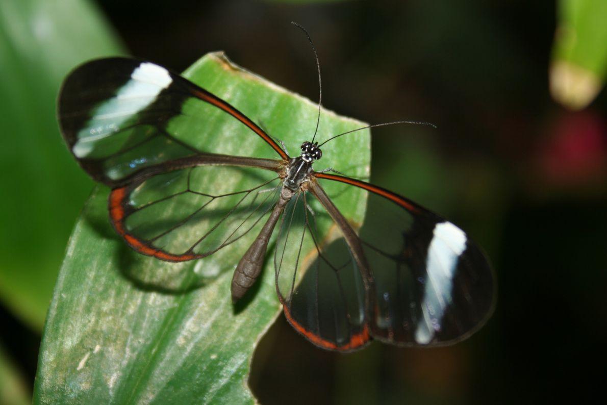 Glasflügler - schaurig schöne Tierwelt