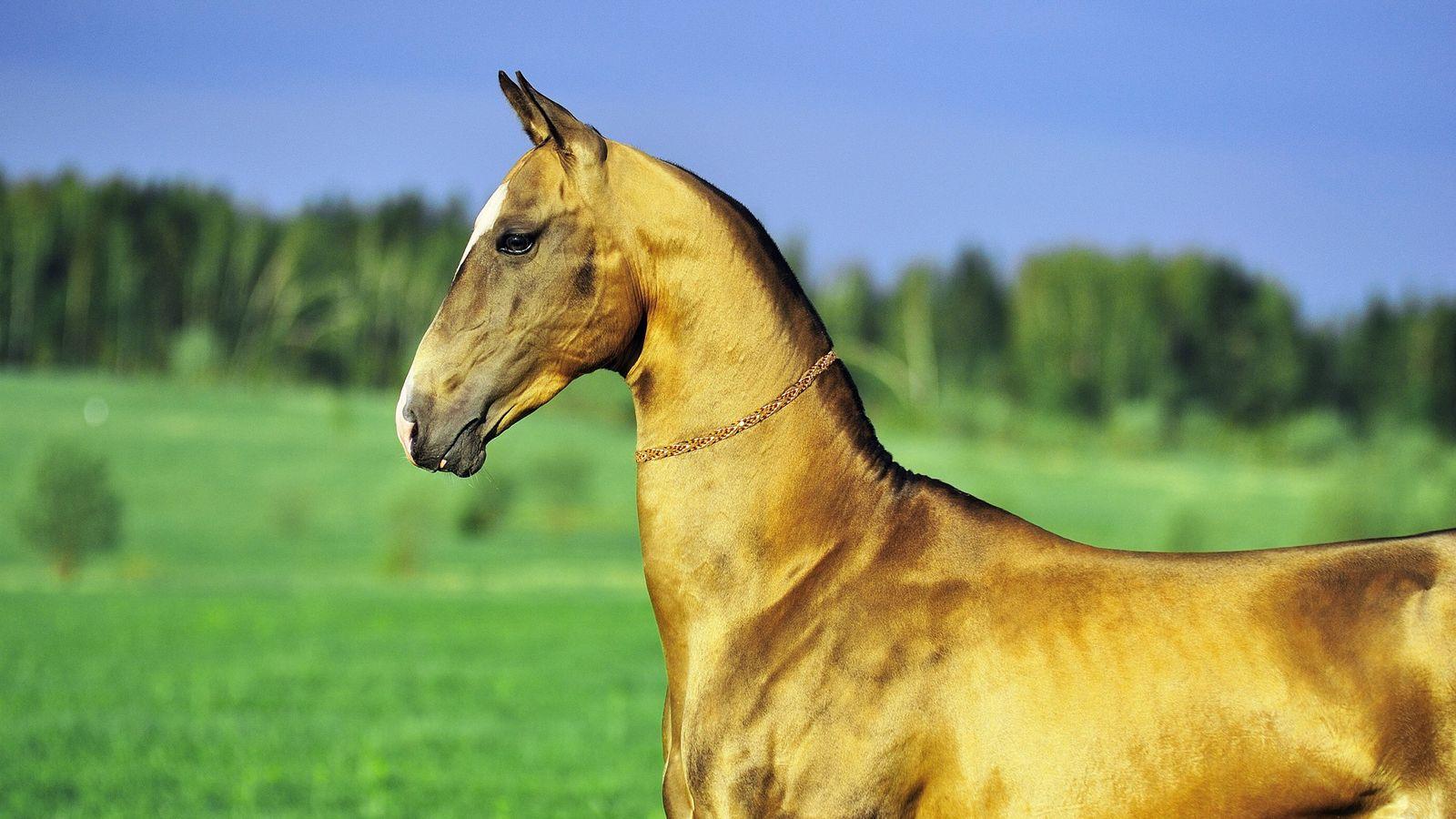 Achal-Tekkiner Goldenes Pferd