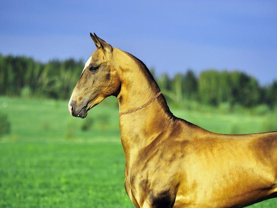 Goldene Pferde: Der Mythos um ihren einzigartigen Glanz