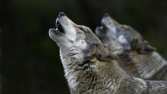 """Wölfe: """"Gekommen, um zu bleiben"""""""