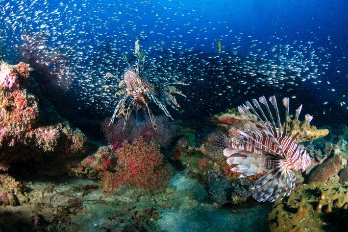 Feuerfische haben außerhalb ihres natürlichen Verbreitungsgebiets kaum Feinde.