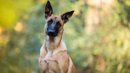 Corona-Spürhunde: Covid-Detektoren der Zukunft