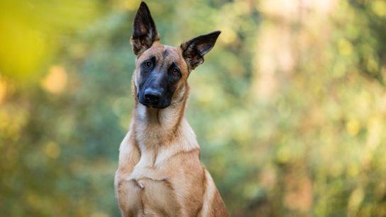 Belgischer Schäferhund, aufmerksam