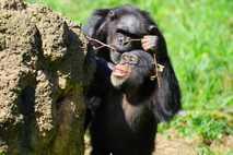 Der Schein trügt: Menschenaffen geben ihr eigenes Know-how offenbar nicht an Artgenossen weiter.