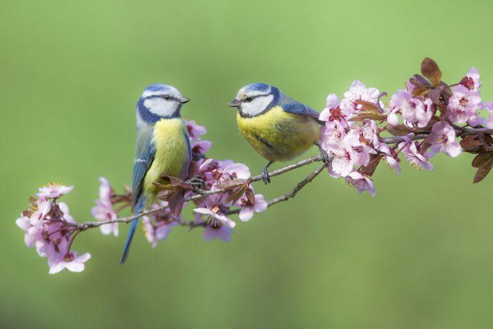 Blaumeisen im Frühling