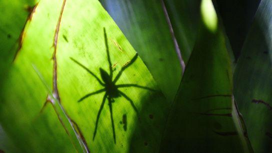 Wenn acht kleine Beine große Panik auslösen: Die Angst vor Spinnen zählt zu den häufigsten Phobien.