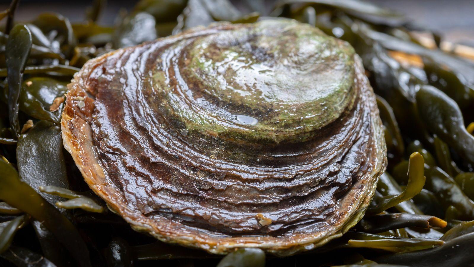 Europäische Auster
