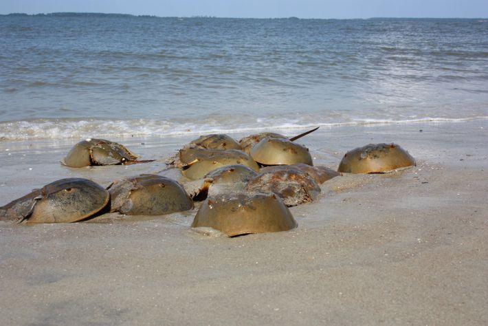 Einmal im Jahr kommen die Pfeilschwanzkrebse zur Paarung ins seichte Küstengewässer um sich zu Paaren und ...