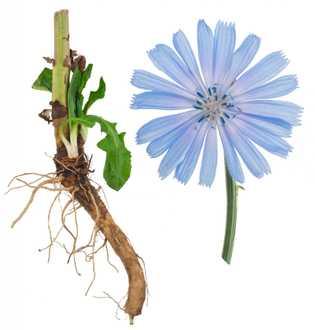 Zichorie Wurzel und Blüte