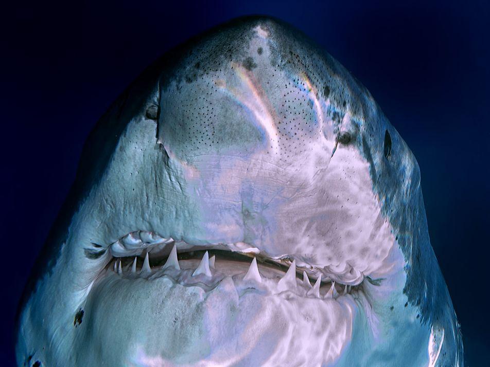 Wie man mit Weißen Haien taucht