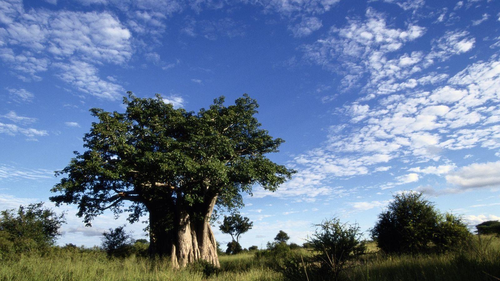 Ein großer Baobab überragt die Savanne des Kruger-Nationalparks in Südafrika.