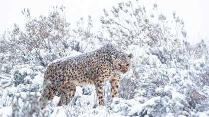 Seltene Aufnahmen zeigen Geparden im Schneesturm