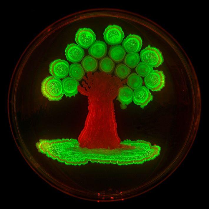 Dieser Baum leuchtet, weil fluoreszierende Proteine in zwei Stämme von Bacillus subtiliseingebracht wurden. Ohne diese Gene ...