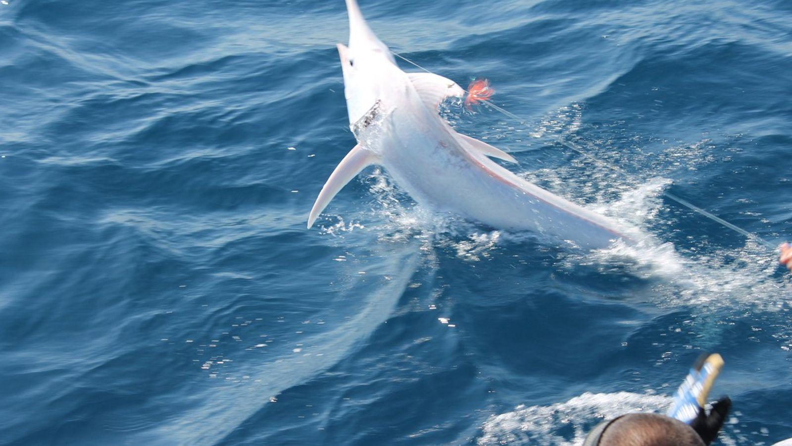 Blaue Marlin