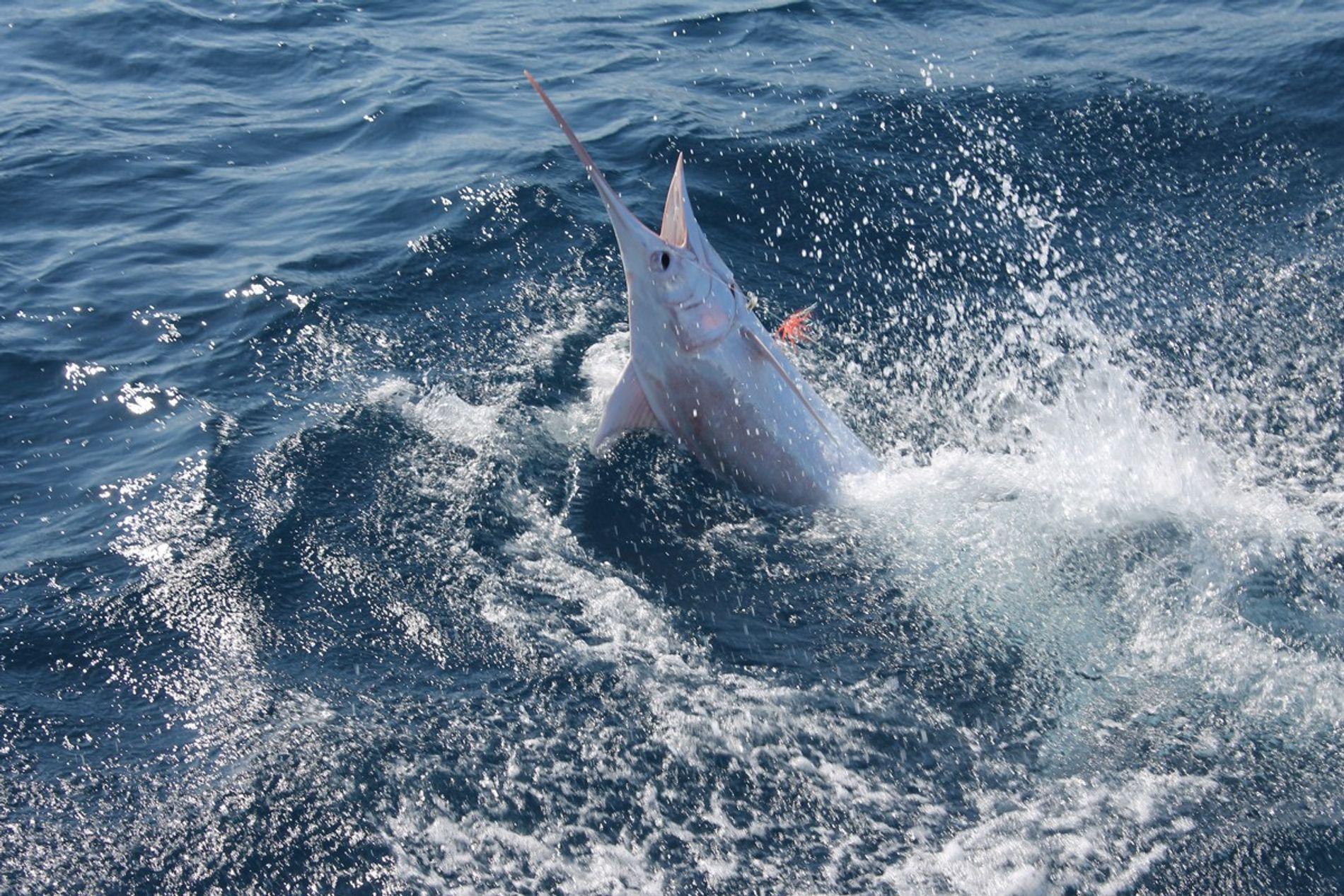 Der Marlin durchbricht die Wasseroberfläche.