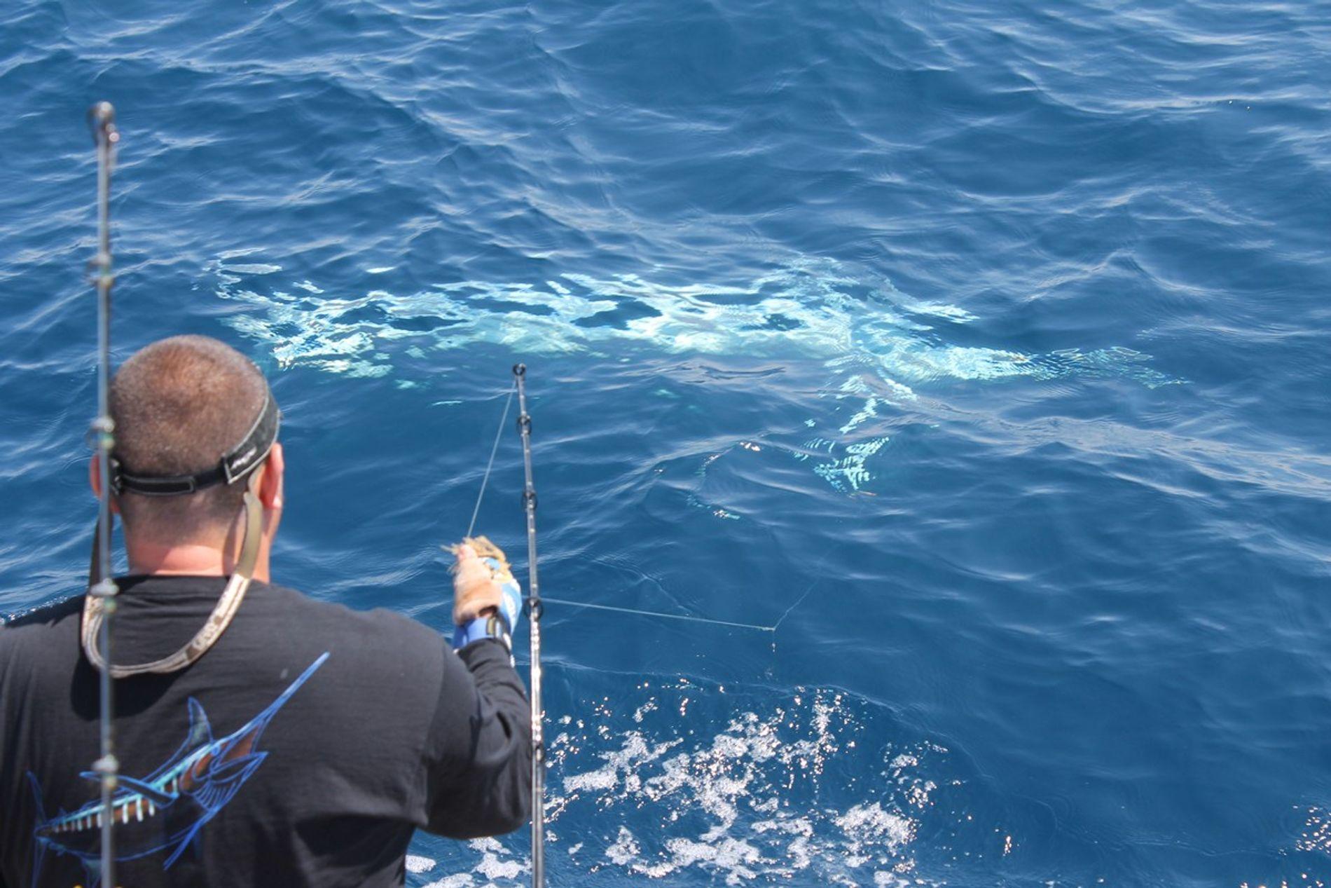 Nach seinem Fang wurde der Marlin schnell wieder freigelassen.
