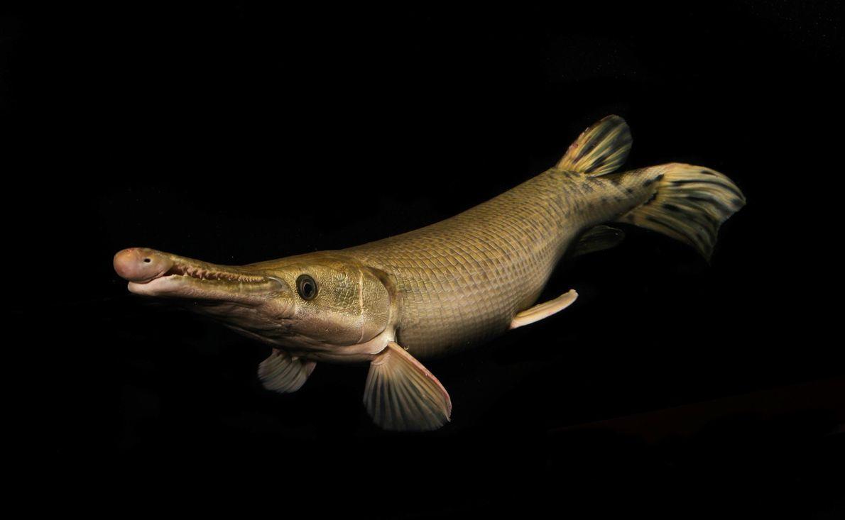 Alligatorhecht