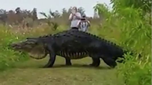 Keine Panik: Riesenalligatoren sind ein gutes Zeichen