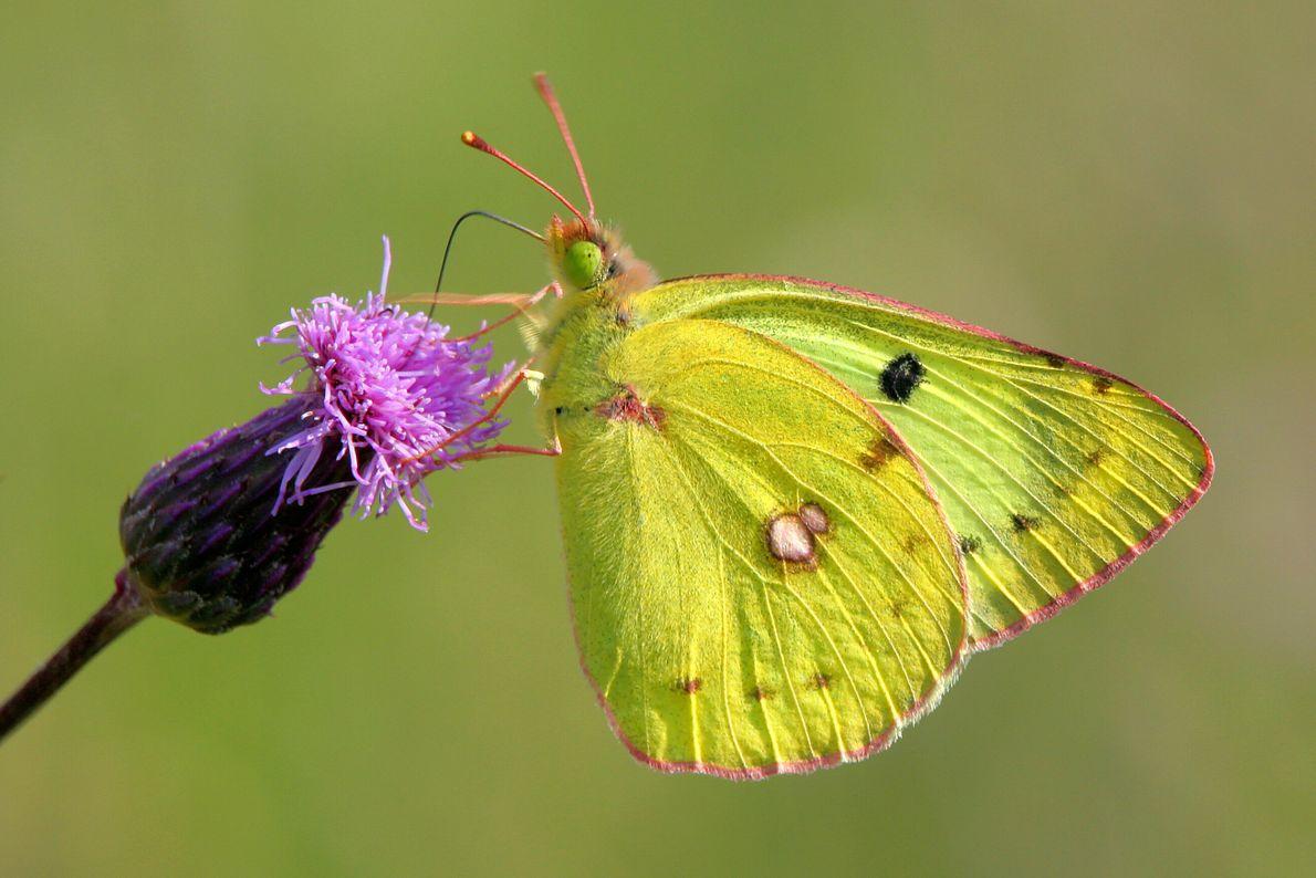 Der Alpengelbling - Schmetterling der Alpen