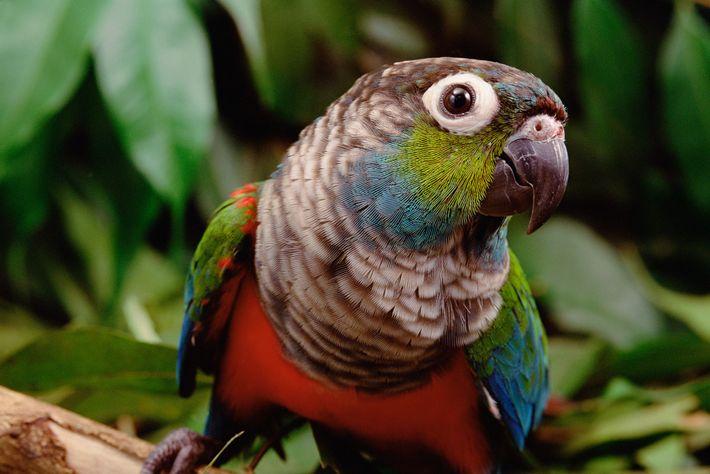 Rotbauchsittiche zählen zu den 1.500 Vogelarten, die im Regenwald des Amazonas heimisch sind. Die beispiellosen Waldbrände ...