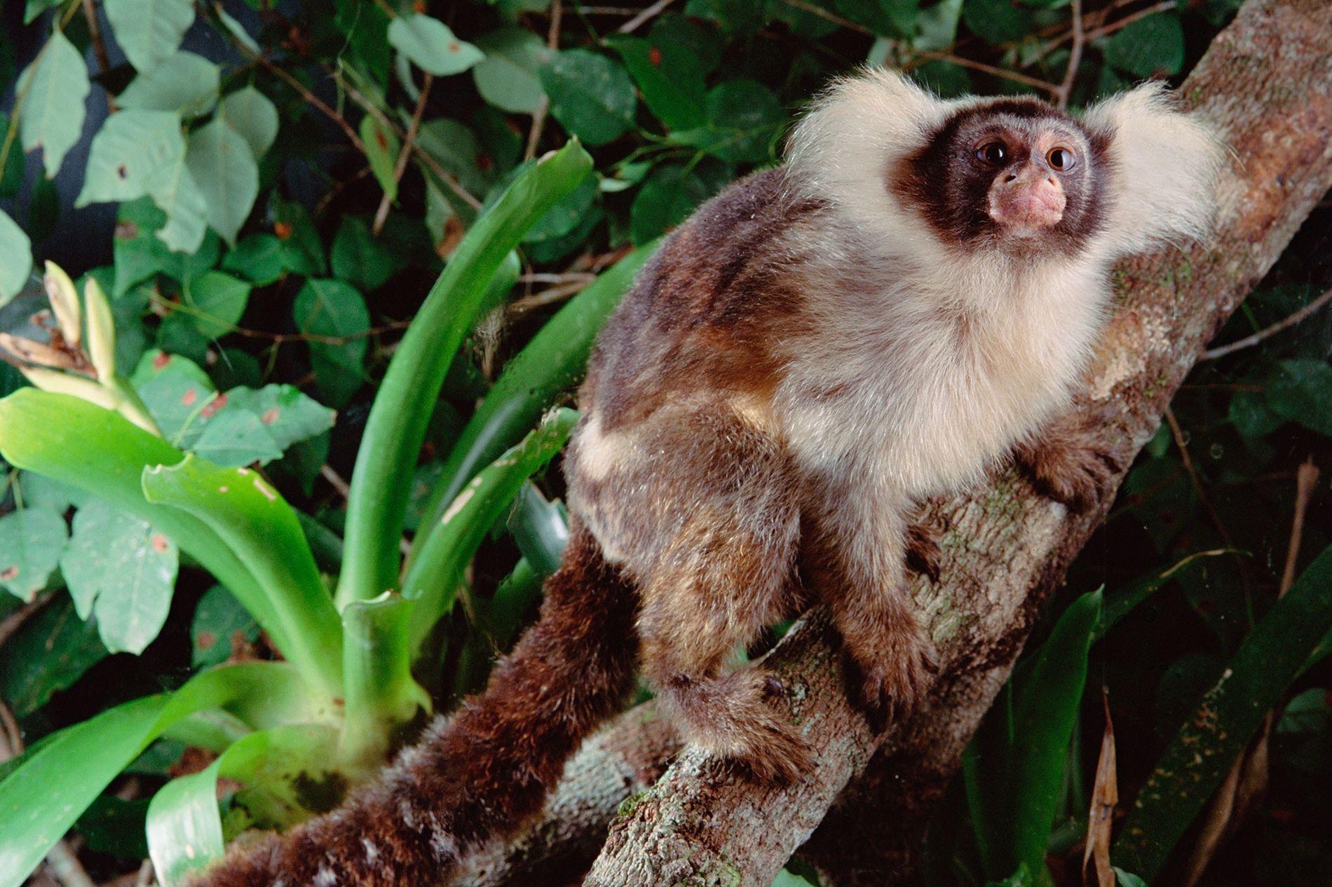 Ein Weißschulter-Seidenäffchen sitzt in einem gesunden Baum in einem brasilianischen Wald. Einige Primatenarten, die erst in ...