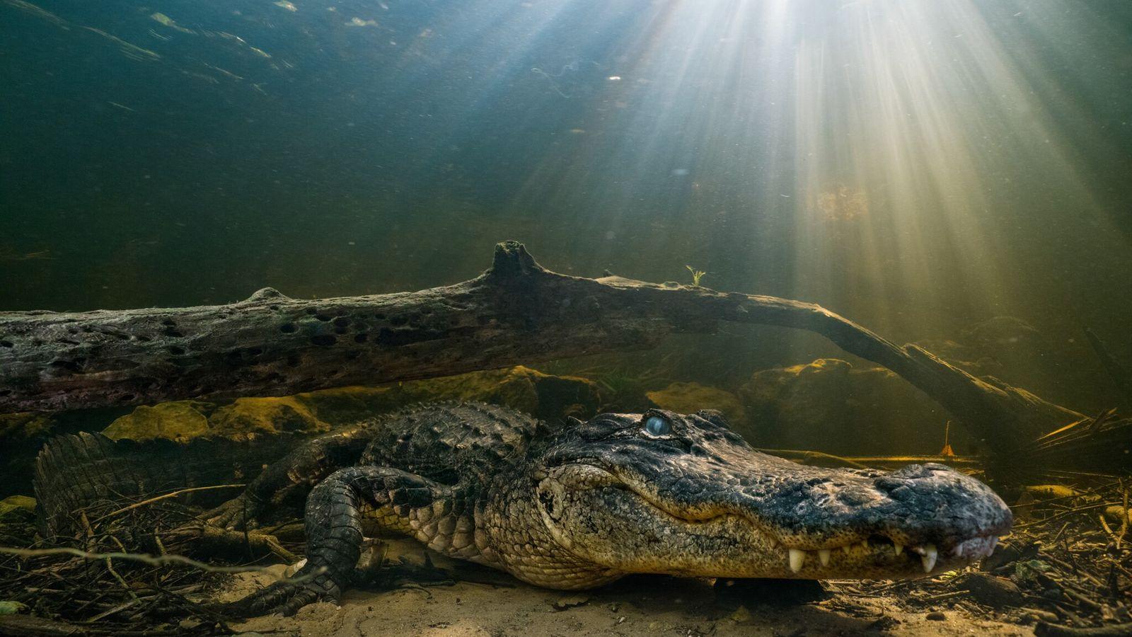 Junge Mississippi-Alligatoren fallen oft Vögeln, Waschbären, aber auch anderen Alligatoren zum Opfer