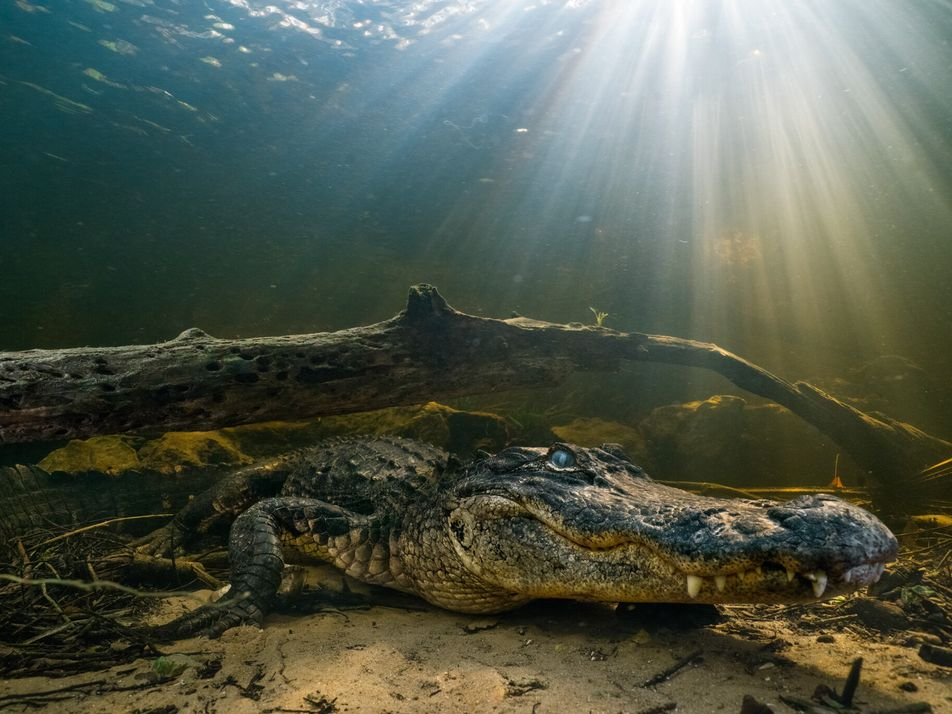 Auch Alligatoren können ihren Schwanz nachwachsen lassen